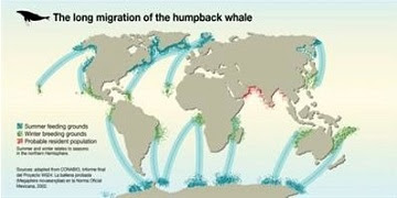 humpback-whales-and-their-migration