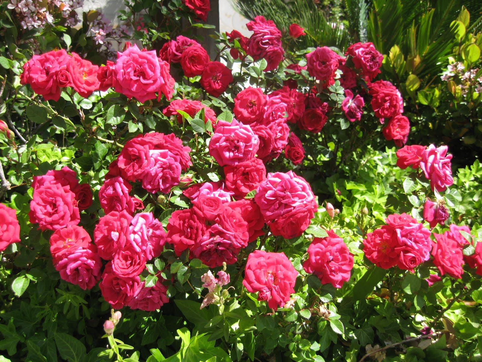 Roses {Garden} - Wendys Hat