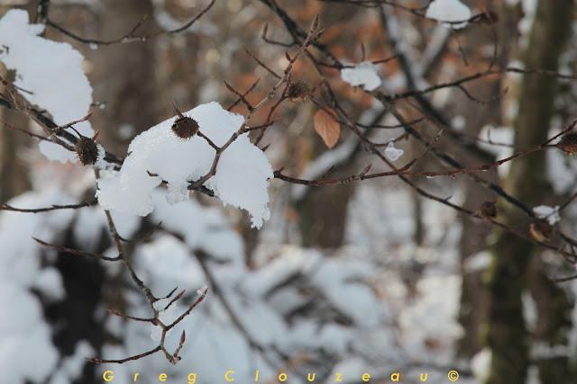 Baudroie des Abysses en forêt de Fontainebleau