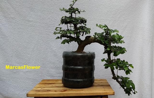 gambar Bonsai serut