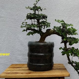Aneka Ragam Bentuk Bonsai Bonsai Serut Mini Di Atas Batu