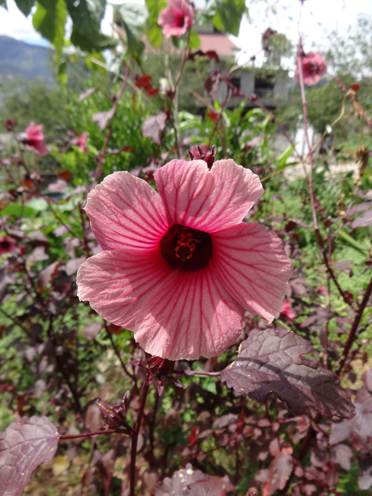 Herbs From Distant Lands: Hibiscus Acetosella