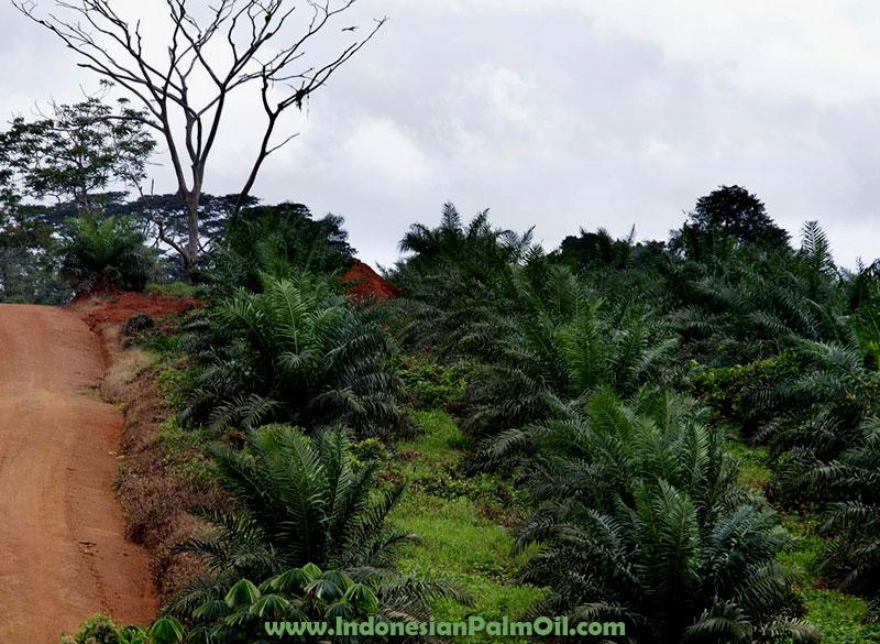 isi moratorium izin pembukaan lahan kelapa sawit