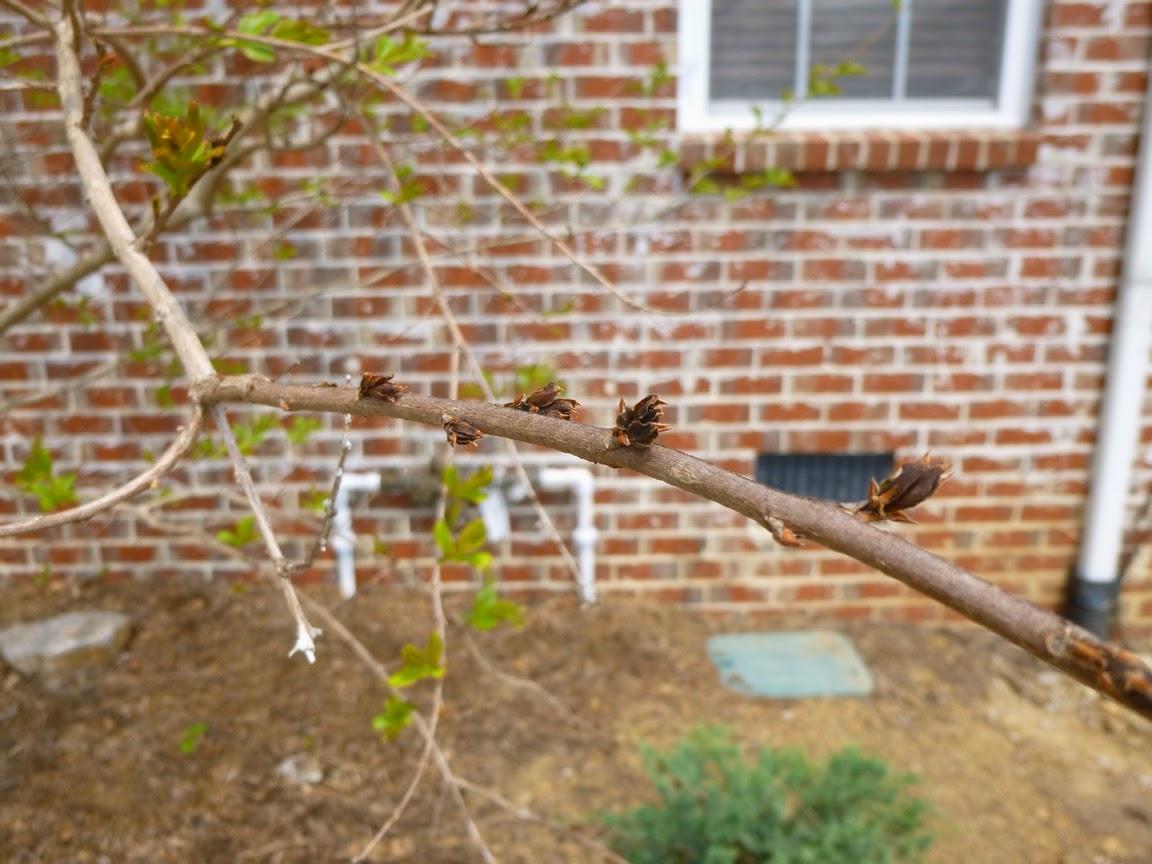 幸运的是,在皱纹骨折上的冷鲷之前没有出现过多的树叶,这是这里的一些最新树木。这个分支上的爱彩网已经开始出现似乎是吐司。在背景中的所有绿色爱彩网仍然是休眠状态,在冻结过程中仍然是休眠的芽,在过去几天里刚刚醒来并抛出绿色爱彩网。