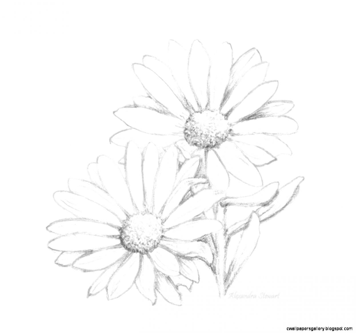 Daisy flower pencil drawing wallpapers gallery
