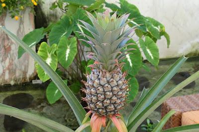 Ananas auf Hawaii