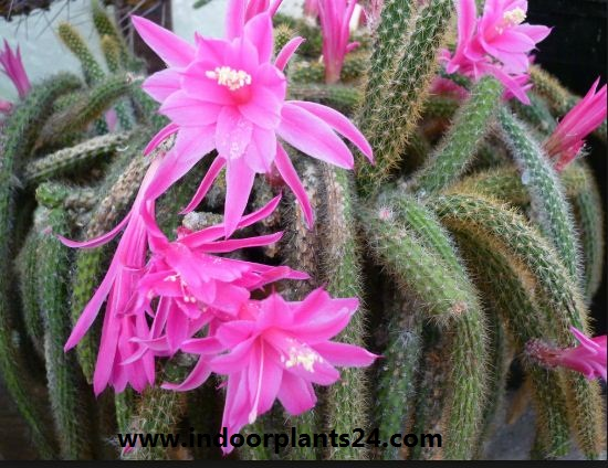 Aporocactus Flagelliformis Cactaceae