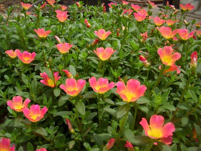 Beldroega (Portulaca oleracea) - planta suculenta, de uso ornamental e alimentício.