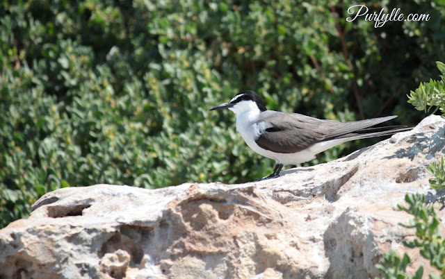 bridle tern on lookout duties