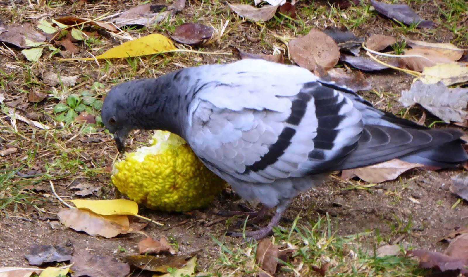 Resultado de imagen para palomas comiendo