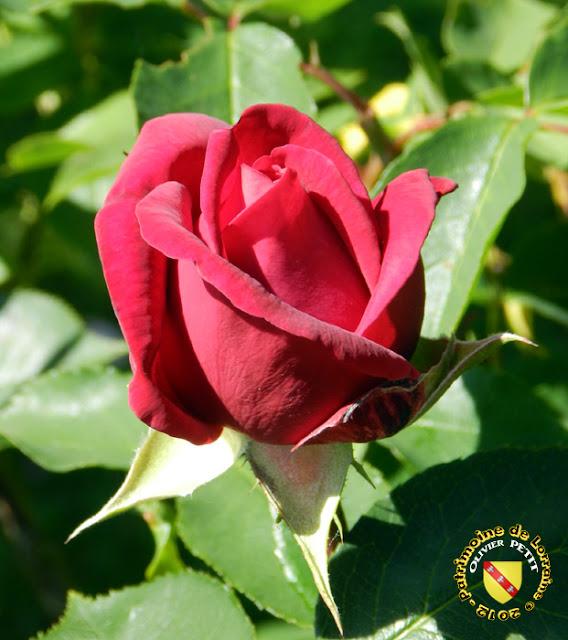 VILLERS-LES-NANCY (54) - La roseraie du Jardin botanique du Montet - Rose Jacqueline du Pré