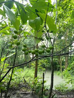 Buah Asoka hutan muda berwarna hijau