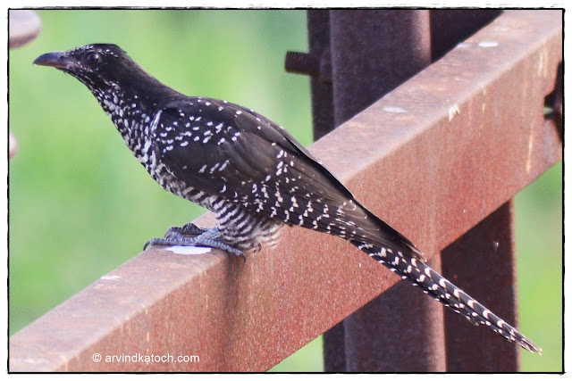 Asian Koel, Juvenile, Female