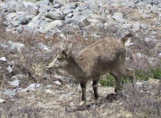 Bharal, Himalayan Blue Sheep