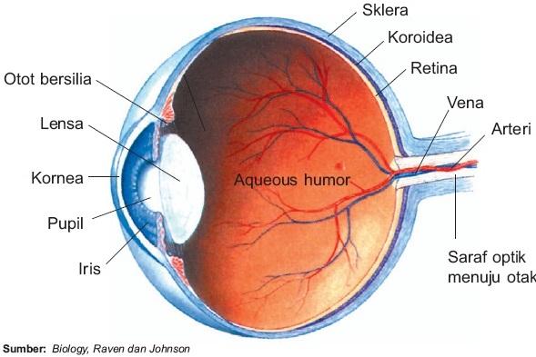 Struktur Mata Sebagai Indra Penglihatan dan Kelainan Pada Mata Manusia
