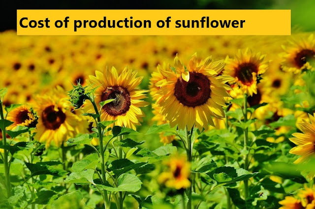 Sunflower production cost