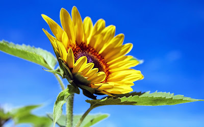 beautiful sunflower widescreen hd wallpaper