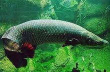 Jenis Ikan Hias Air Tawar Araipama
