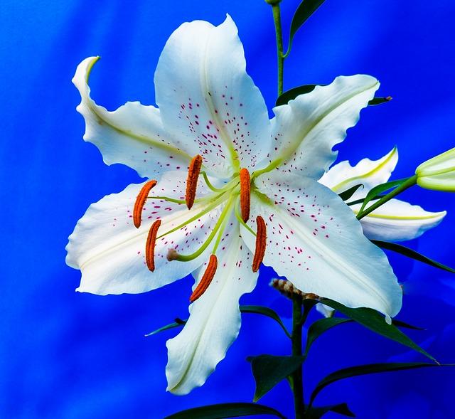 hoa ly trắng đẹp nhất thế giới