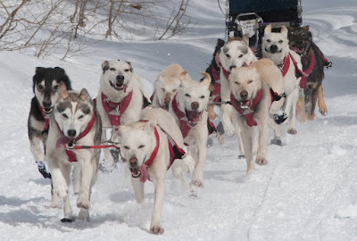 Lomba Kereta Luncur Anjing