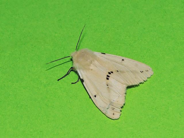 Spilosoma luteum hembra
