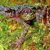 KATAK SUNGAI SAMBAS: Spesies Langka Paling Dicari Di Dunia