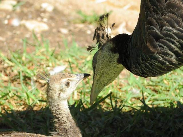 Pavões - Zoo de Lisboa