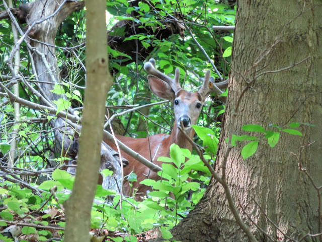 Free things to do in Pittsburgh: spot deer on a hike in Schenley Park