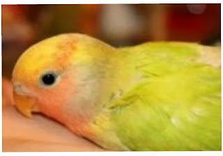 Lovebird sakit lemas kakinya