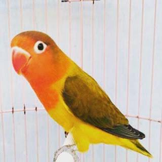 Lovebird Euwing Green Sf/DF atau lb Euwing Hijau