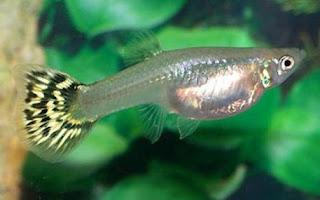Ikan Guppy Betina