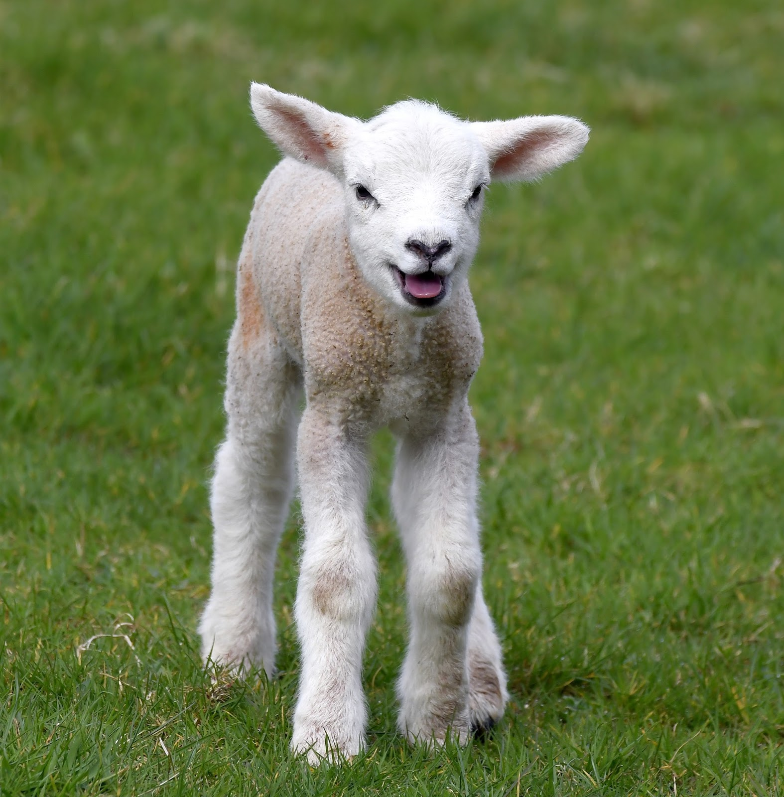 Carl Bovis Nature Photography: Cute March Lambs!!