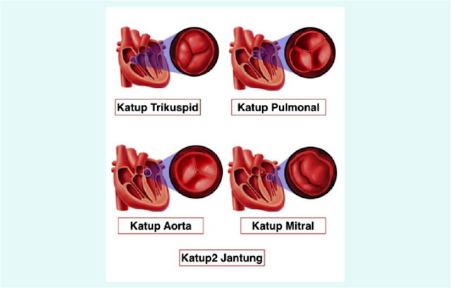 Katup Trikuspidalis, Katup Pulmonal, Katup Aorta, Katup Mitral