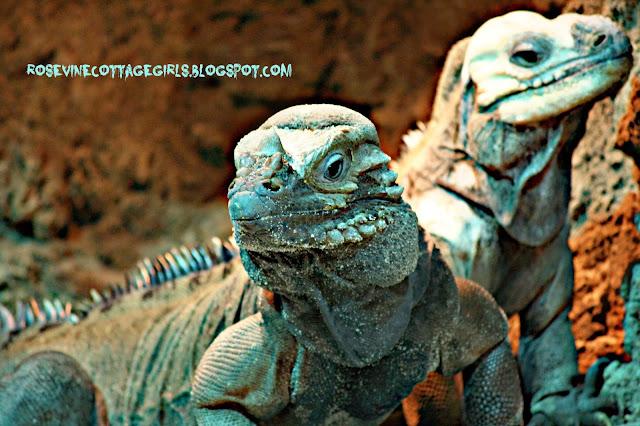 Close up image of lizards sitting on rocks by rosevinecottagegirls.com