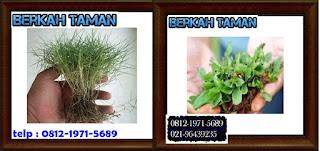 membandingkan rumput gajah mini dan rumput jepang