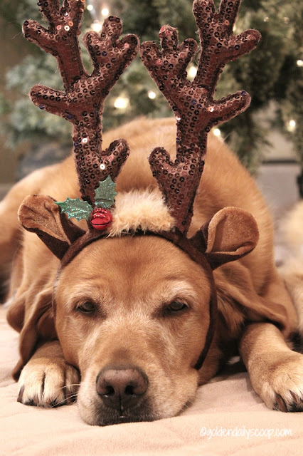 golden labrador dog dressed as reindeer for Christmas