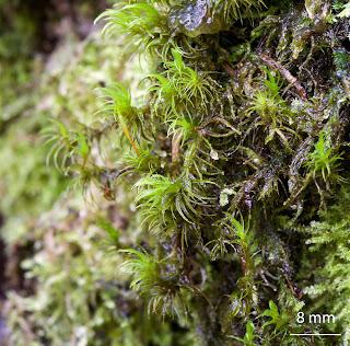 Una especie muy común de Musgo. Pertenece a la familia Dicranaceae del orden Dicranales.