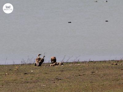 Buitres leonados comiendo (Gyps fulvus)