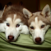 DogTips   Όταν οι δύο σκύλοι μας μαλώνουν μεταξύ τους