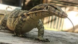470 Download Gambar Hewan Reptil HD Terbaru