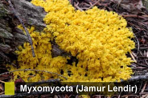 Myxomycota (Jamur Lendir Tidak Bersekat): Pengertian, Ciri, Daur Hidup, Reproduksi, Contoh dan Peranan bagi Kehidupan