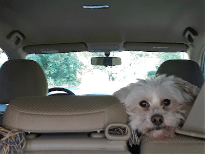 Travel Safely in the car with dogs by using a dog travel safety harness that attaches to the car's seat belt.  Dog safety, Pet safety, Cat safety.  Riding in the car with pets.