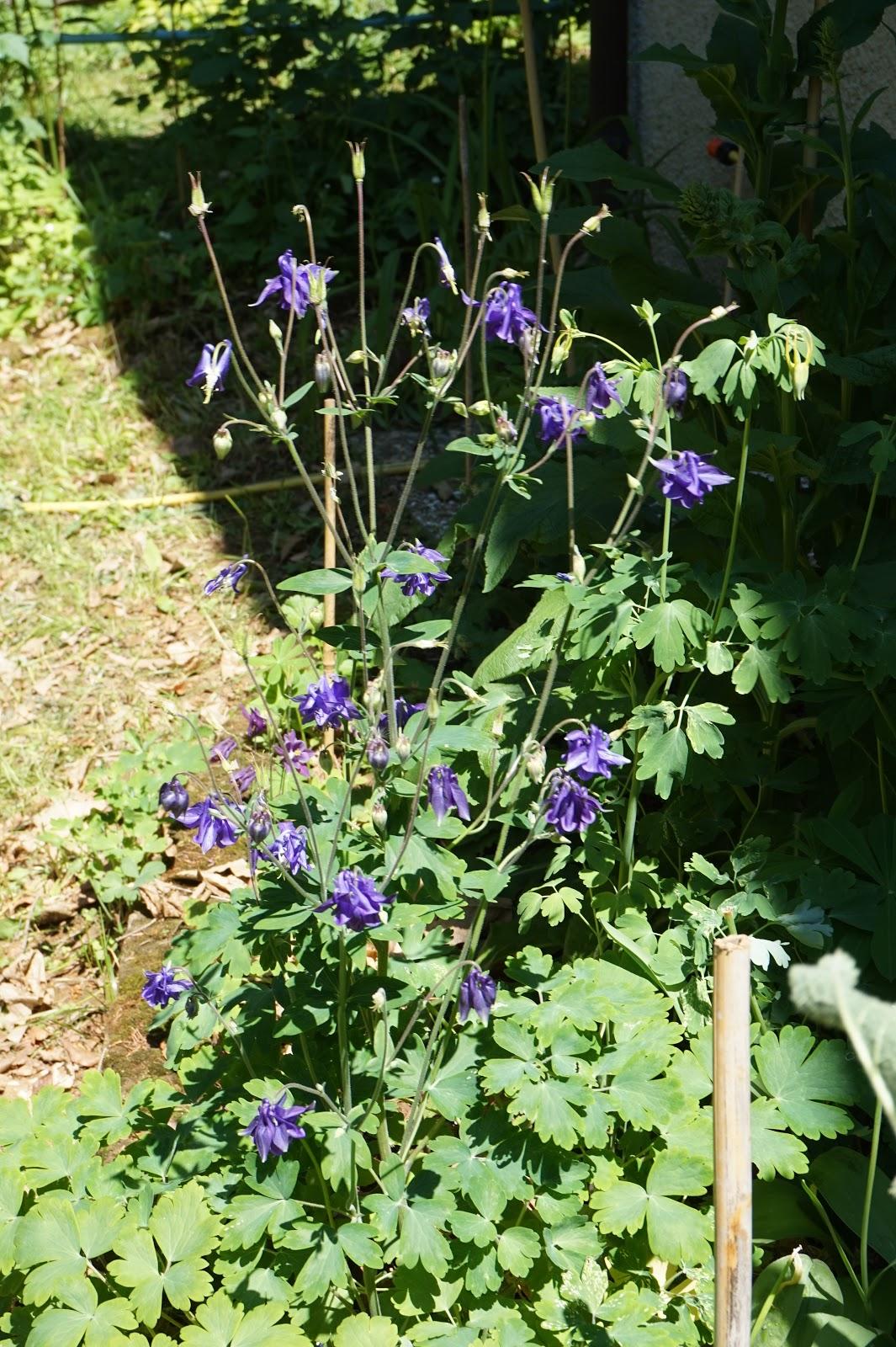 Fiori Da Giardino In Montagna naturalmente giardino: i miei fiori in montagna #1