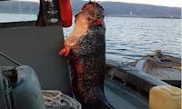 Ψάρεψαν γουλιανό 85 κιλών στη λίμνη Τριχωνίδα (φωτο)
