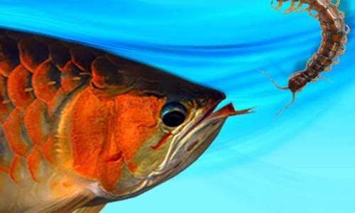 Makanan Ikan Arwana Untuk Anakan Dan Dewasa Biar Cepat Merah
