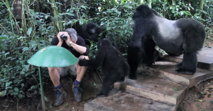 Unbelievable Video Of Man Encountering Gorillas In The Woods