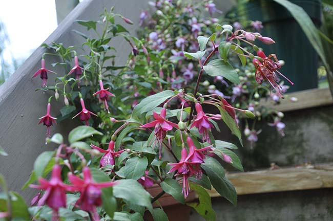 Growing With Plants: DESIGNING A LOW BUDGET FENCE THAT