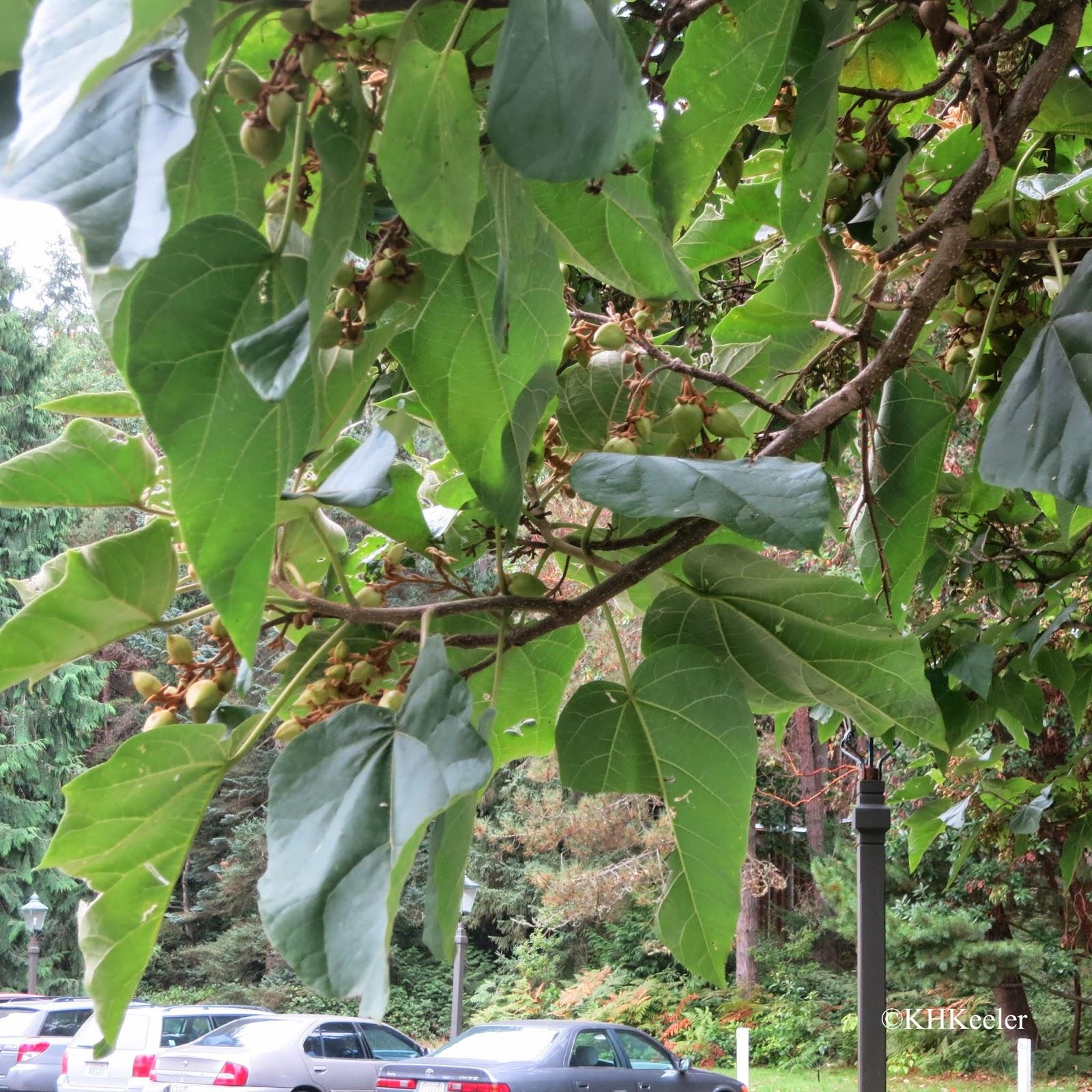 Empress Tree,  Paulownia tomentosa