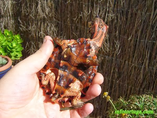 Chelus fimbriatus - Tortuga mata mata