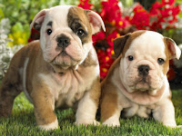 Bulldog Animal Pictures